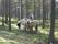 CIMG1203 lina i skogen