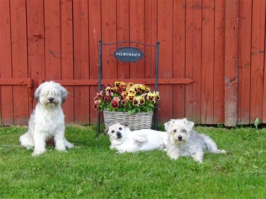 Snobben, Daisy och Rambo