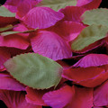 Rosblad - Röd/lila