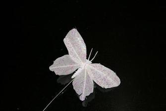 Fjärilar - Vita