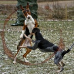 Kamphundsträning...?