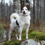 Klackebos Spurt som unghund