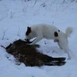 Klackebos Spurt med ett vildsvin