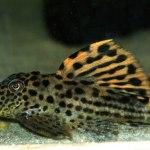 Leporacanthicus triactis L-091
