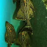 Panaque nigrolineatus L-190