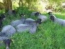 Levande svarta får håller växtligheten på lagom nivå. bo