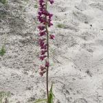Orkidé i sanden!