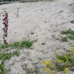 Orkidé och gulmåra.