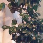..bakgrund om kaffeplantans behandling och....