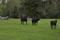 Fjällkon Svartnos och hennes kalv längs fram