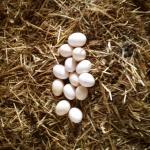 Hemma ägg