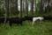 Kvigorna i skogen