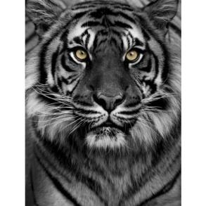 Poster 30x40 Tiger - Poster 30x40 tiger