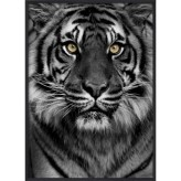 Poster 30x40 Tiger