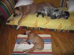 Trötta hundar 16 Augusti