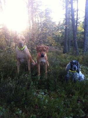 Tur i skogen med Dinnie, Diva & Candy vid solnedgången 6 Oktober -13