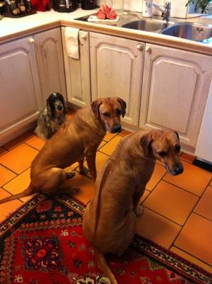 Candy, Diva & Dinnie väntar på sina märgben - 24 jan.-14.