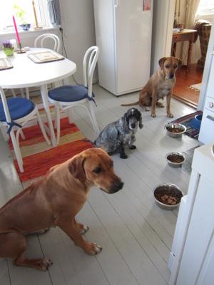Diva, Candy & Dinnie väntar på sin mat