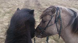 Mimir till vänster som ridhäst och Tolli till höger som handhäst