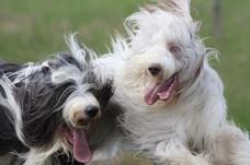 MSM och hundar