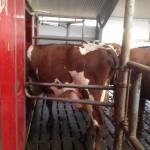 Väntan på mjölkning