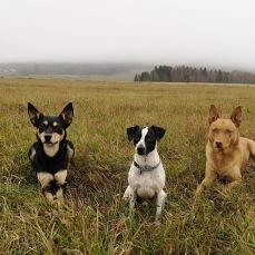 Våra tre älskade hundar. I mitten Bobbo, dansk-svensk gårdshund. Rio till vänster och Bell till höger. Vallhundar av rasen workingkelpie