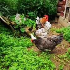 Några av våra höns som bjuder på fantastiskt goda ägg