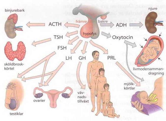 kroppens hormoner