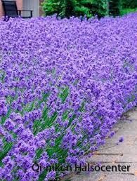 Lavendel2