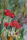 41 Vallmo, akvarell
