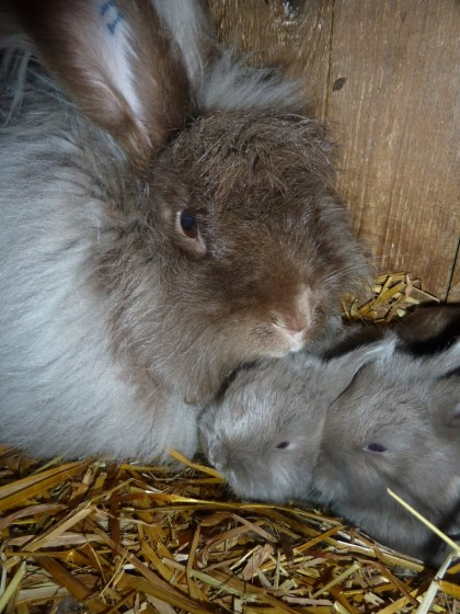 Brun angorahona med två veckor gamla egernfärgade ungar