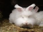 En av våra vita angora ungdjur