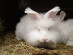 One of our young white angorarabbits