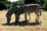 Grassisng zebras