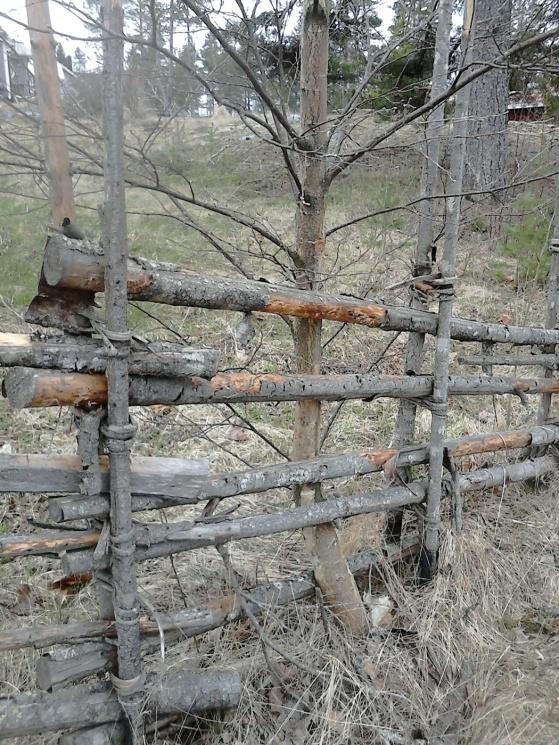 Den gamla gärdsgård hade en inbyggd björk!