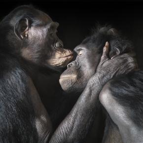 TIM FLACH _Bonobos_kiss copy