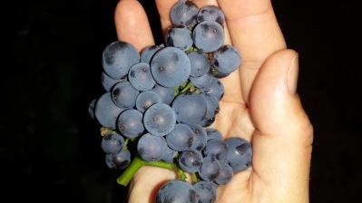 Pinot druvorna är otroligt goda!