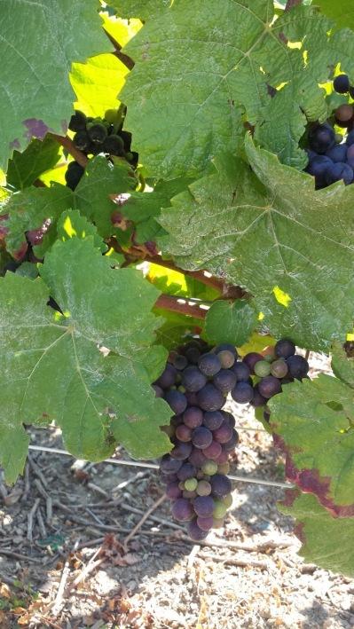 Här Pinot Menuier...skillnaden syns på det mjöliga bladen