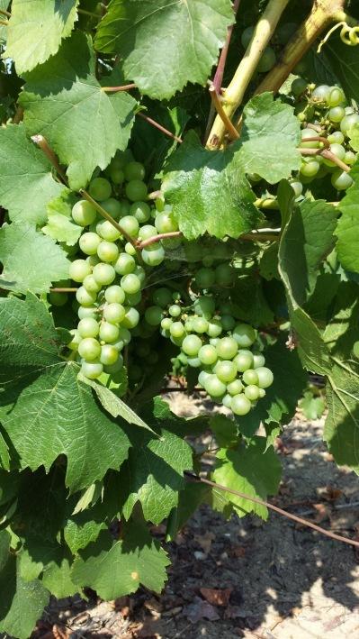 Härliga gröna krispiga Chardonnay druvor