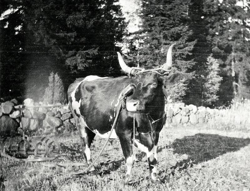 """C. 6 (2) Harvning med """"Stjärn"""" i Sandbäcken år 1930. Insatt av Kent Friman, 2014-02-26. Läs mer på www.ljungstorpshistoria.se!"""