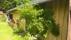 Vacker grönska vid ladugårdsvägg