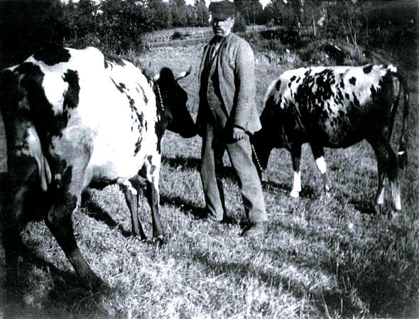 Gustaf Gustafsson på Hökatorp med sina två kor i sin nybyggda ladugård 1920
