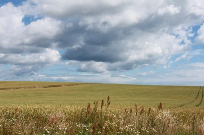 På den sydsvenska slätten frodas kornet