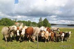 Nyfikna köttdjur vid Herrgårdsviken, Jäverön