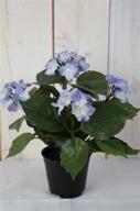 Blå Hortensia i kruka H26cm