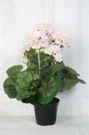 Rosa Pelargon H36cm