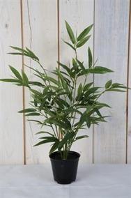 Bambu i kruka H45cm - Liten bambu H45cm