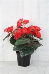Cerise Begonia i kruka - Cerise