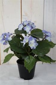 Blå Hortensia i kruka H26cm - Blå