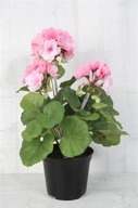Rosa Pelargon 30cm